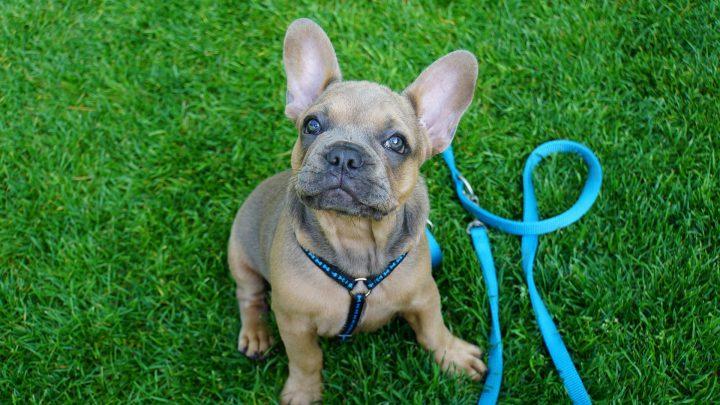 stop pulling - loose leash, Hund zieht - bald nicht mehr